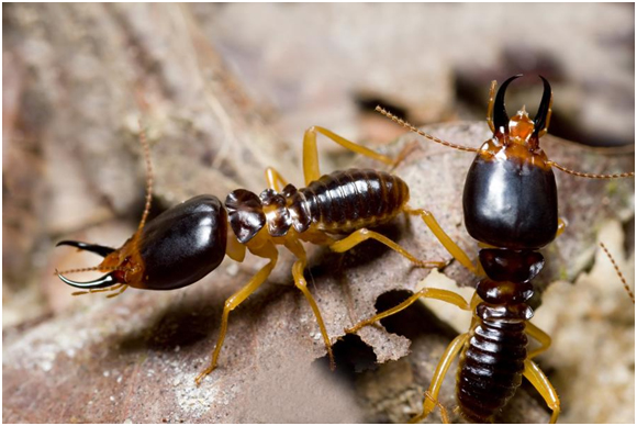 Close up of two termites