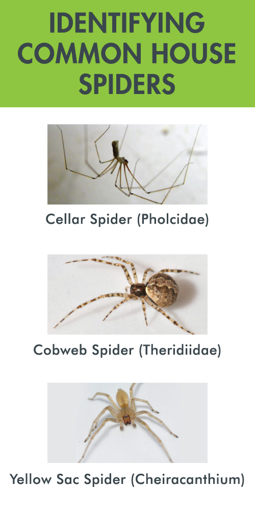 Identifying Common House Spiders by Anderson Pest Solutions - Serving Indiana, Illinois and the greater Chicago area