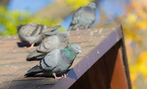 Bird Exclusion Services provided by Anderson Pest Solutions in the Midwest - Illinois and Indiana