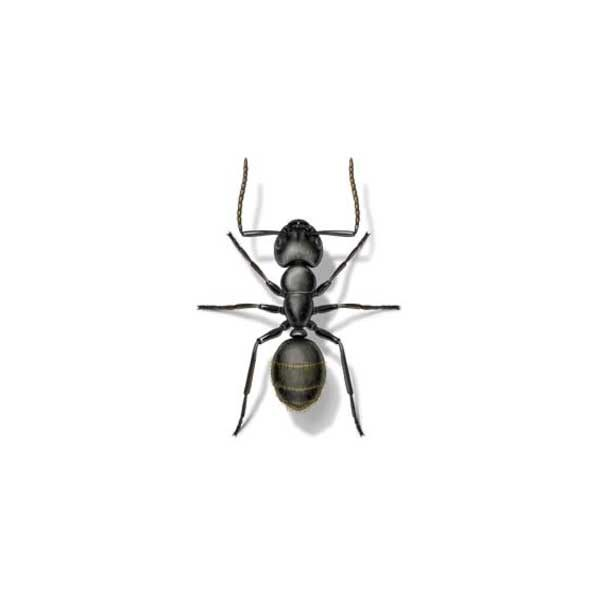 Carpenter Ant Extermination From Anderson Pest Control