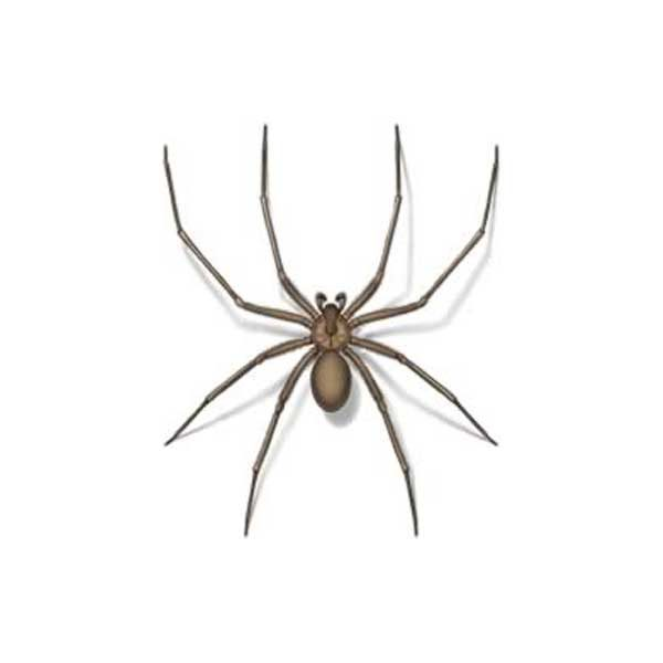 Brown Recluse Spider Extermination From Anderson Pest Control