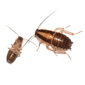 German cockroach identification and behavior in Illinois and Indiana - Anderson Pest Solutions