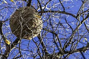 Hornets Nest Removal Services in Illinois and Indiana by Anderson Pest Solutions