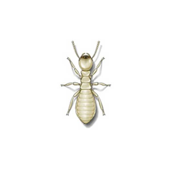 Eastern Subterranean Termite Extermination From Anderson Pest Control