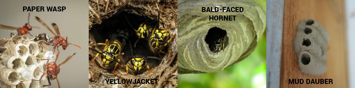 Wasp nest graphic. Anderson Pest Solutions serving Chicago IL and the Midwest